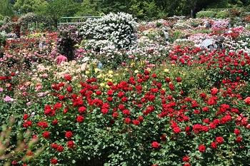 色とりどりのバラの花