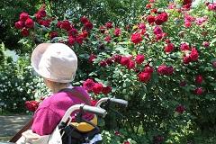 バラの花を間近に観賞